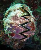 zoro clam.jpg