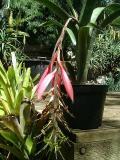 Billbergia canterae