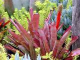 Aechmea pineliana var. minuta