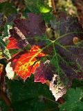 Grape Leaf Sun Spot