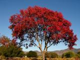 Yountville Tree