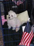 patriotic pup.JPG