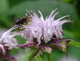 Lavender Bee Balm 2