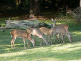 Deer dinner time