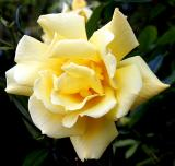 Rose - Sue's mother's garden in Crewe