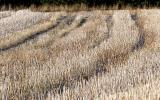 Wheat field after cutting