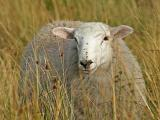 Yet another sheep