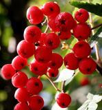 Backlit berries