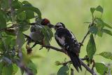 Baby woodpecker and mom