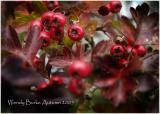 Hawthorne Bush in Autumn Splender