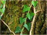 Tree Vine photoshop
