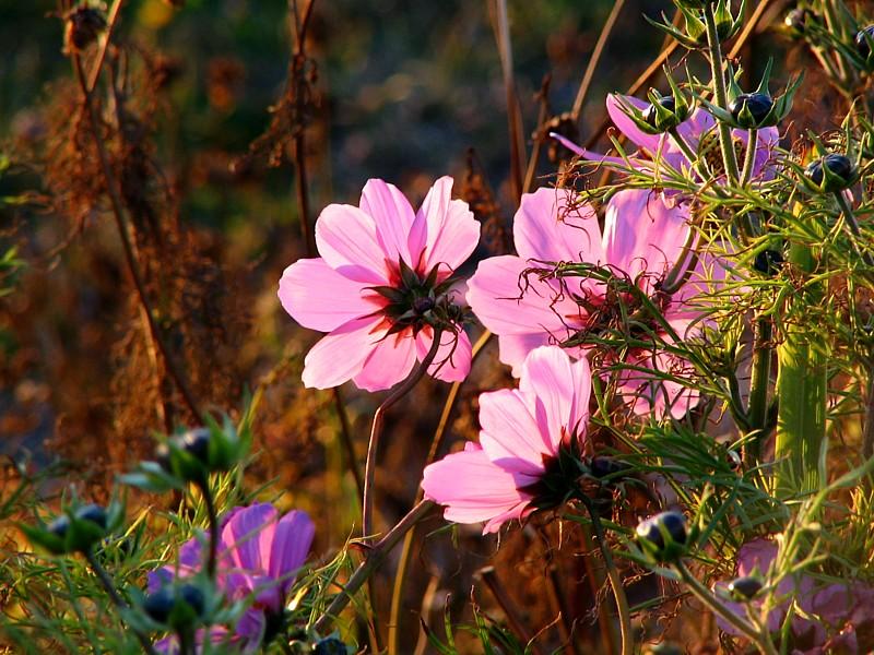 fleurs à contrejour