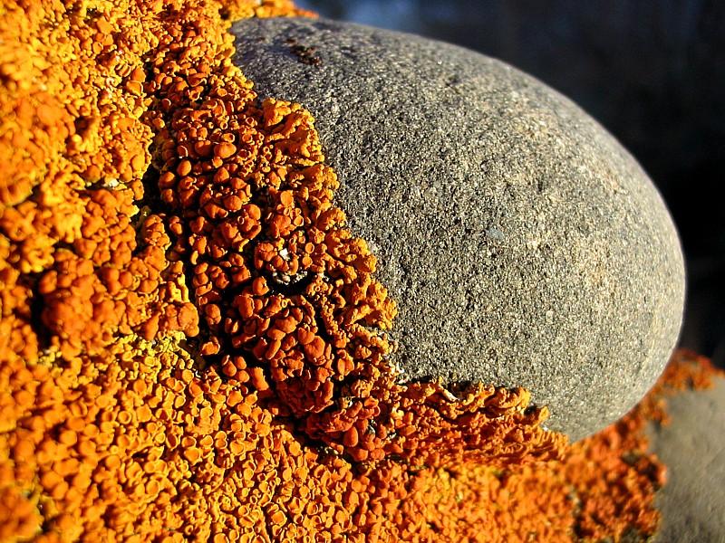 lichens attaquant une pierre