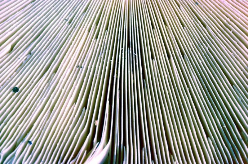 Lamelles de champignon