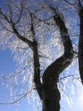 L'arbre verglassé
