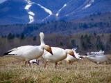 Les oies blanches de Cap Tourmente, mai 2005