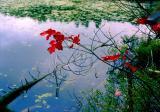 érable rouge sur étang
