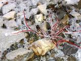 la plante araignée de glace