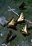 Papilio glaucus assoiffés