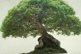 Weyerhaeuser's Pacific Rim Bonsai Collection