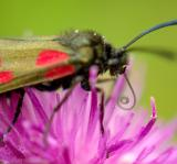 Cinnabar Moth eat3