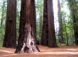 Humboldt Redwoods