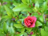 'Rosebud' ?