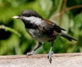 Birds Chestnut -Backed Chicadee