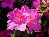 Azalea Bloom 2004
