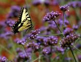 Pittsburgh Butterflies