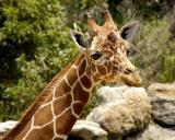 Giraffe.nt4522.jpg