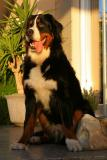 Bernese Mountain Dog - Strauss