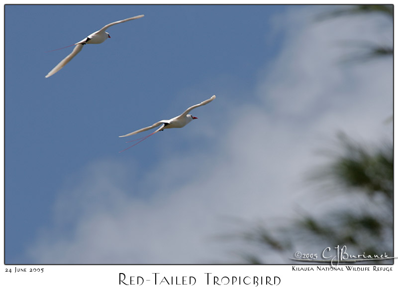 24Jun05 Red Tailed Tropicbird