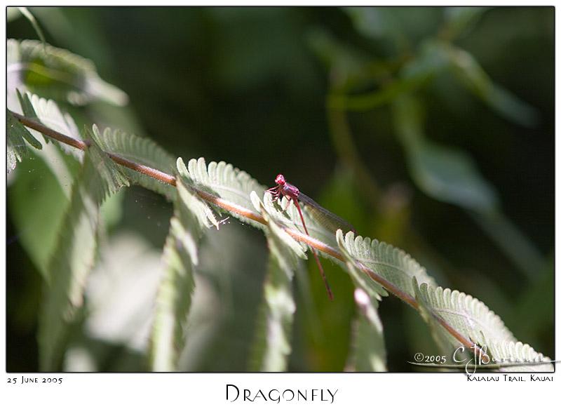 25Jun05 Dragonfly
