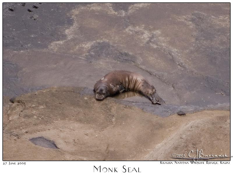 27Jun05 Monk Seal