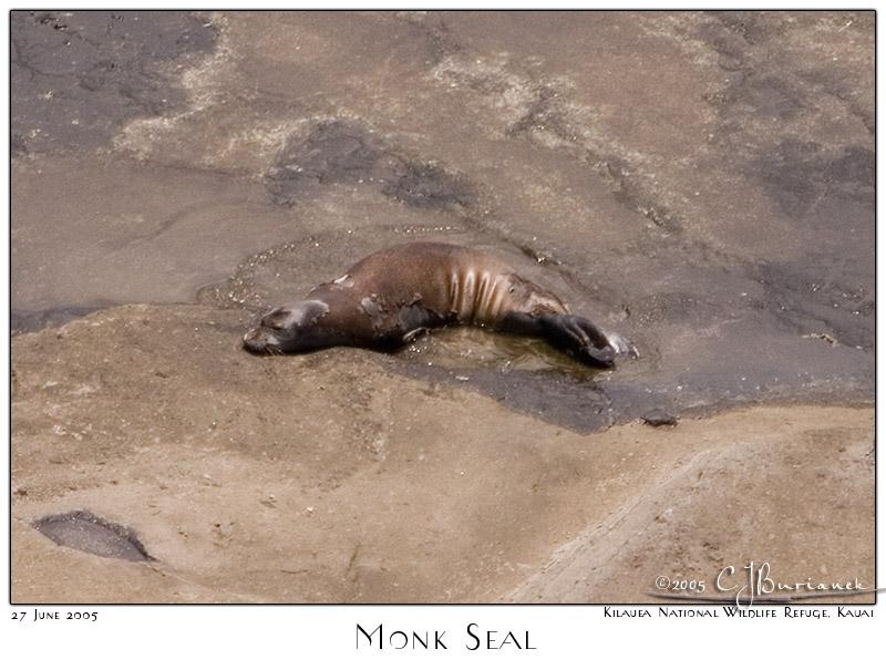 27Jun05 Hawaiian Monk Seal