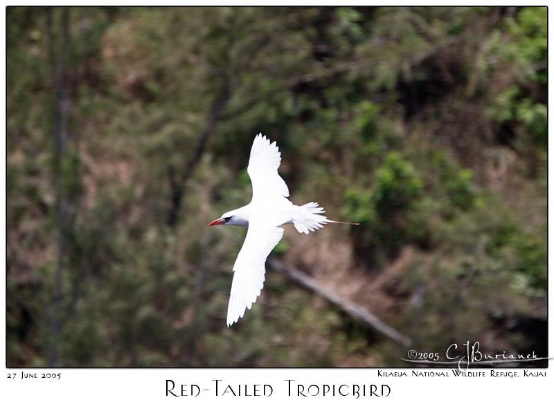 27Jun05 Red Tailed Tropicbird