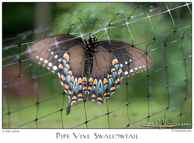 06July05 Pipe Vine Swallowtail