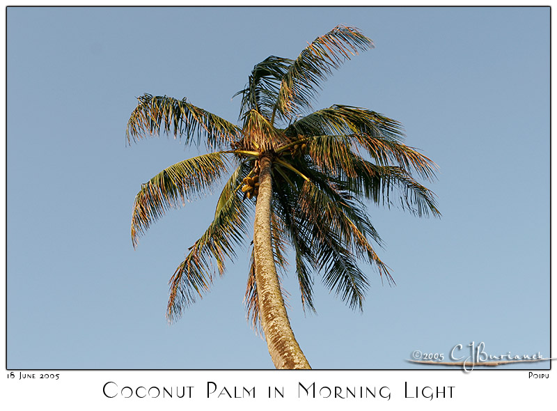 Coconut Palm in Morning Light 700