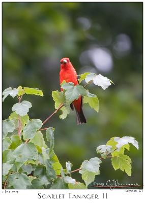 07July05  Scarlet Tanager II