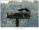 06Jun05 Osprey Chicks