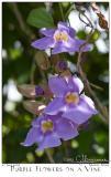 27Jun05 Purple Flowers on a Vine