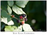 10July05 Wild Black Raspberries