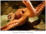 19July2005 Giant Pacific Octopus - 3647