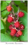 30July05 Wineberry Brambles - 4393