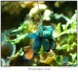 22Oct05 Mandarin Fish - 6728