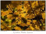 05Nov05 Golden Maple Leaves - 7122