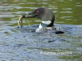 Loons feeding their Chick