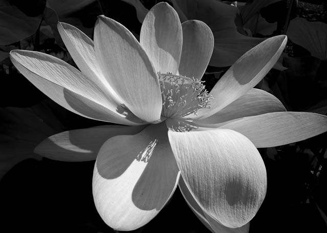 0294 Water Lily in BW