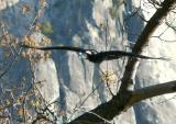 Raven flies